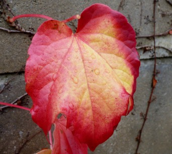 Rotes Weinblatt.