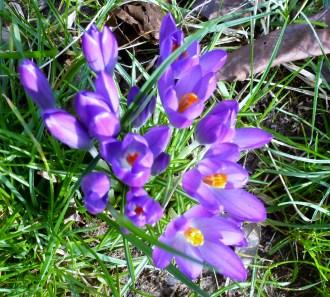 Schöne lila Krokusse.