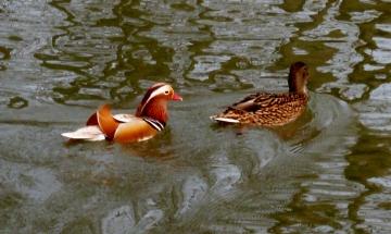 Zwei schöne Enten