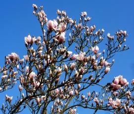 Magnolienbaum..
