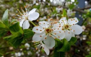 Kirschblüte..