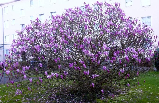 Magnolien Baum