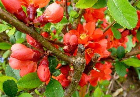 Rote Frühjahrsrosen