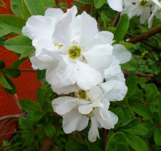 Weiße Kirschblüten
