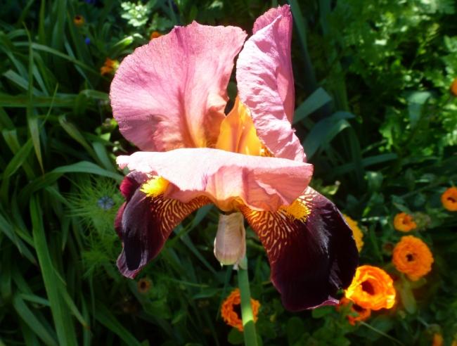 Schöne Lilie