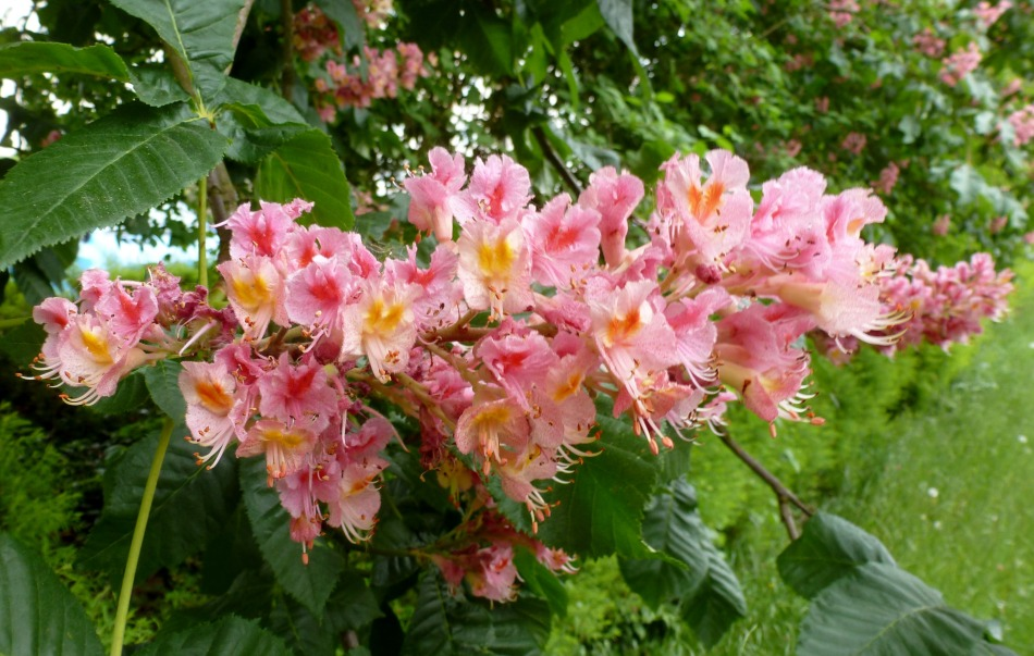 Kastanienblüten in rosa