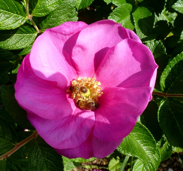 Wilde Rose