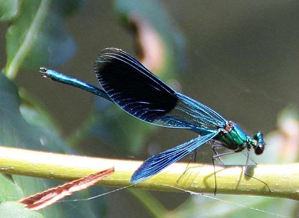 Schöne blaue Libelle