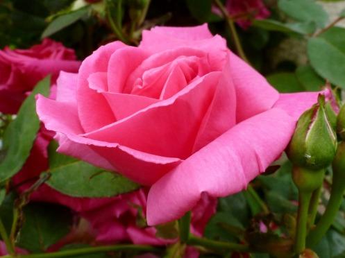Ein kräftiges Rosa...