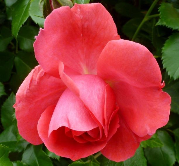 Ein schönes Rose