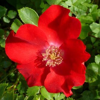 Rose so rot wie Blut.